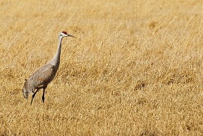 Sandhill Crane in a Field