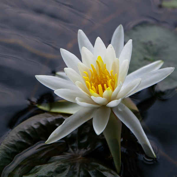 Water lily, Spring 2011.