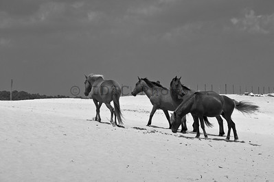 Wild Ponies in Assateague Island, Maryland Black and White