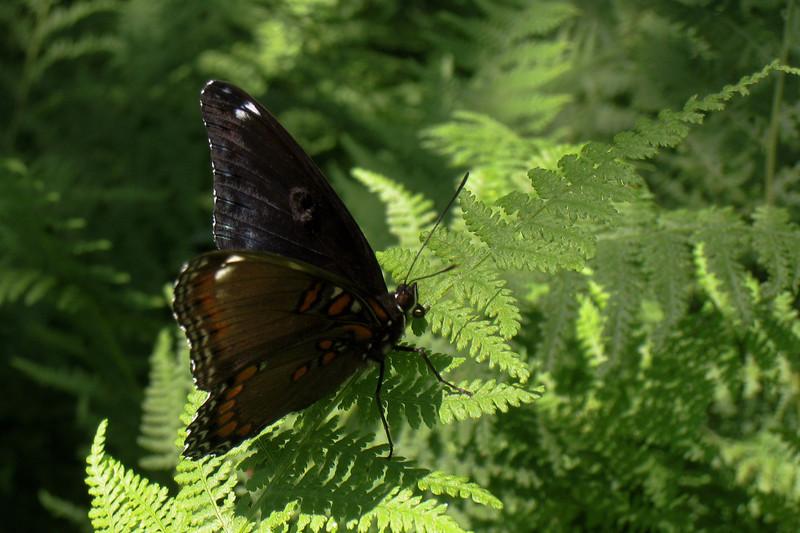 Butterfly on fern.