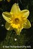 1_Daffodils_AR