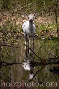Yes, this is a white deer!