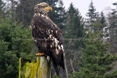Up Close & Personal with a Juvenile Bald Eagle - Vancouver Island, B.C. 2011