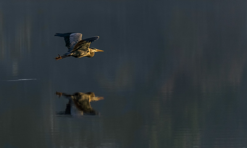 Heron on the water