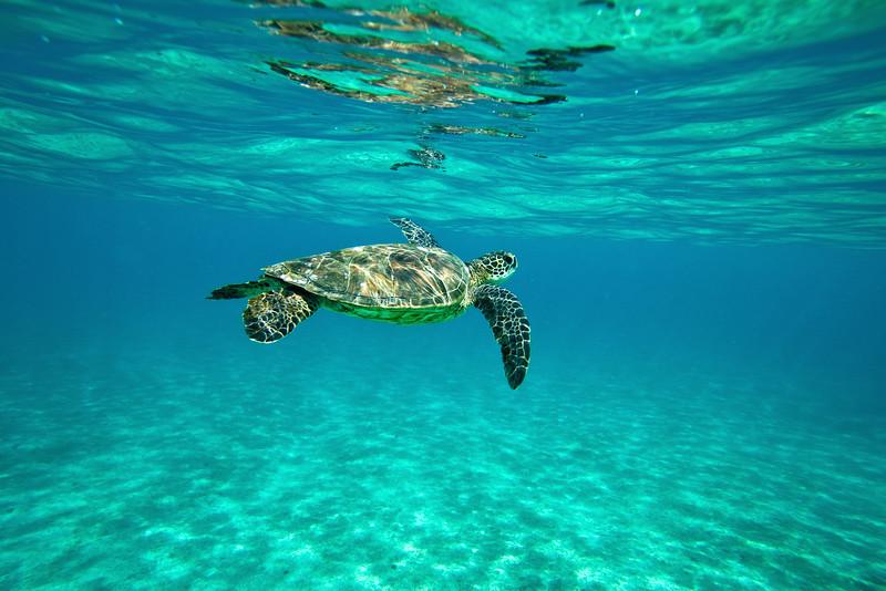 A Hawaiian Green Sea Turtle glides effortlessly through the ocean.