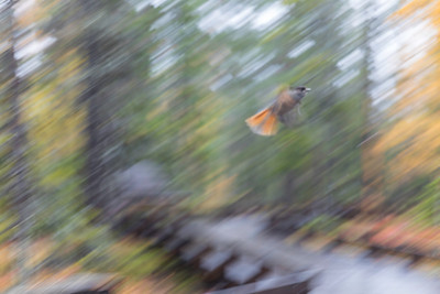 Siberian Jay flying at Fulufjället national park