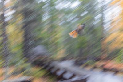 Siberian Jay flying at Fulufjället national park