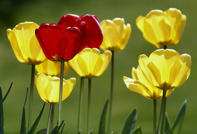 5-2 Tulips II
