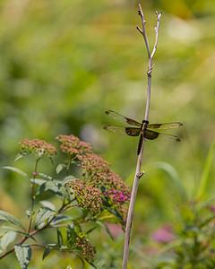 Gold Leaf Dragonfly