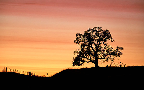 Lone Oak in the Country