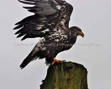 Juvenile Bald Eagle - Vancouver Island, B.C. 2011