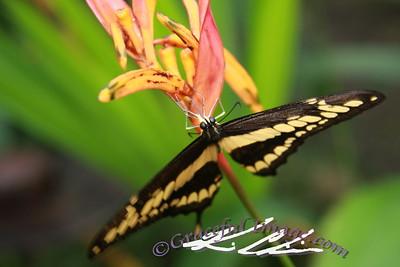 Butterfly in Panama