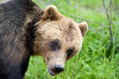 Alaskan bear.