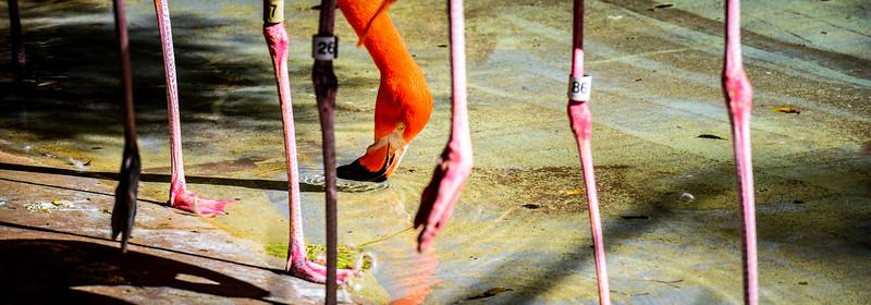 Thristy Flamingo