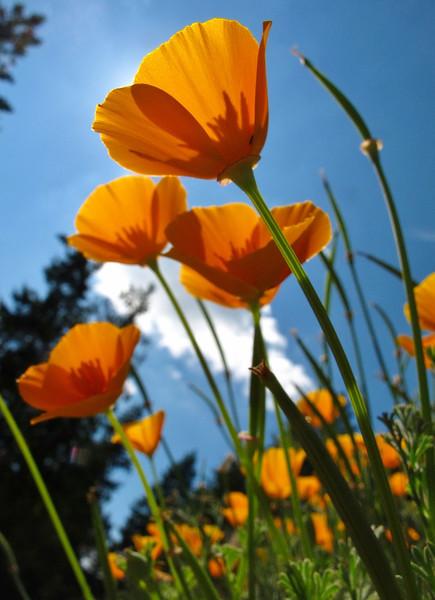 9-2 Poppies