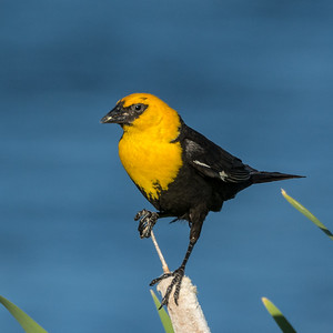 Male Yellow-headed Blackbird at the edge of a lake
