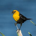 Yellow-headed Blackbird, male, at Echo Canyon Reservoir