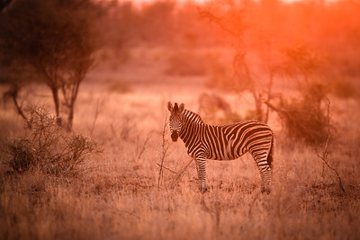 Zebra in the kruger national park