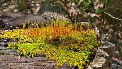Carpet Moss (Amblystegium varium)