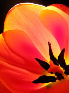 Tulip 12_10 2
