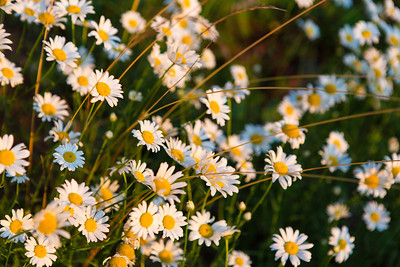Daisies in the Morning Light
