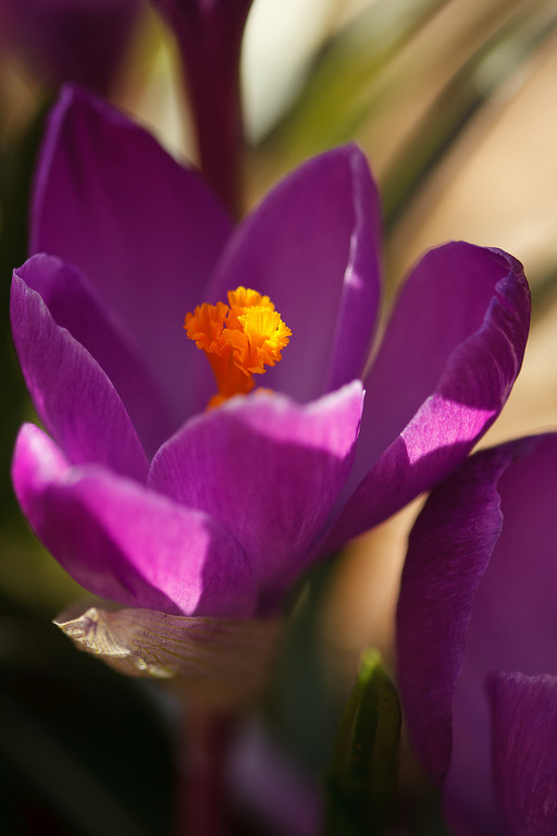 A purple crocus flower