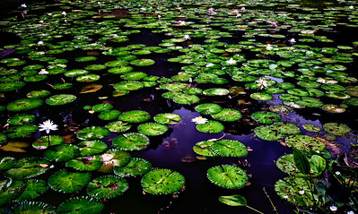 Water Lilies. Picture taken in Singapore