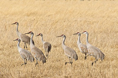 Sandhill Cranes Loafing in a Grain Field