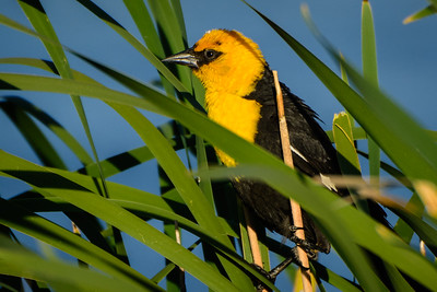 Male Yellow-headed Blackbird in Reeds