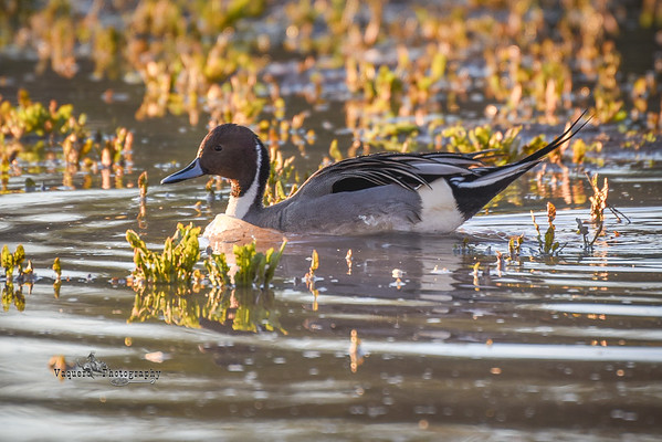 Northern Pintail at Riparian Preserve, Gilbert AZ (19 January 2015)