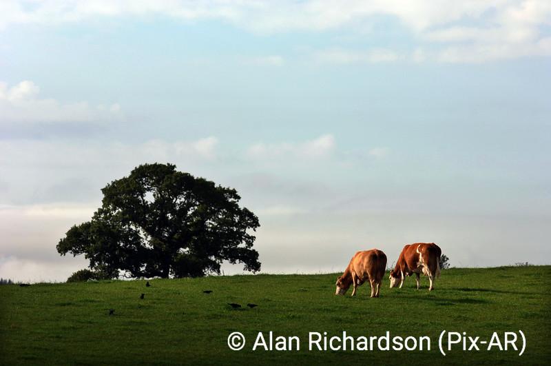 2_Cows_AR