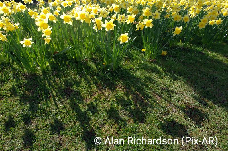 9_daffodils