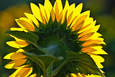 Sunflowers at McKee-Beshers WMA Maryland -18