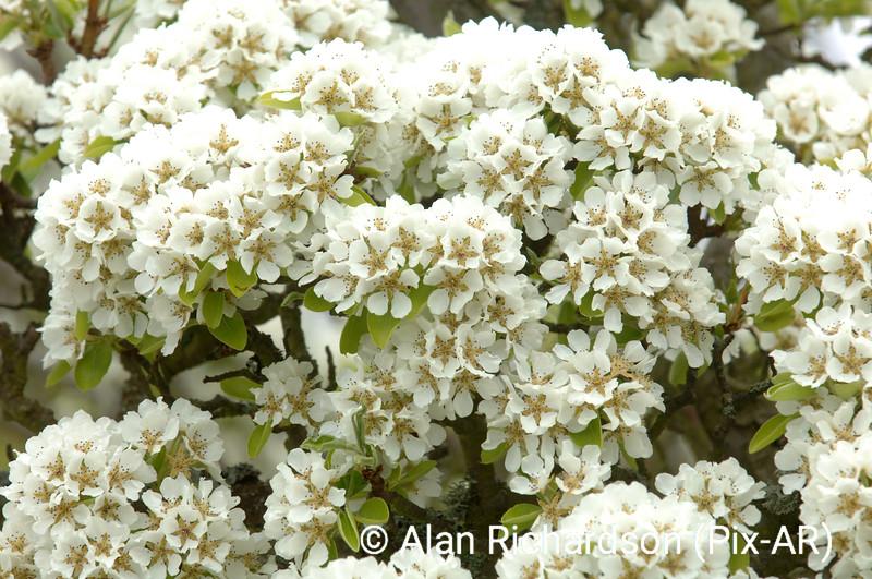 4_Pear_Blossom_AR