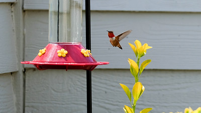 Hummingbirds in my backyard...such sweet and sensitive creatures