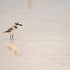 Wilson's Plover on the Beach in Mexico