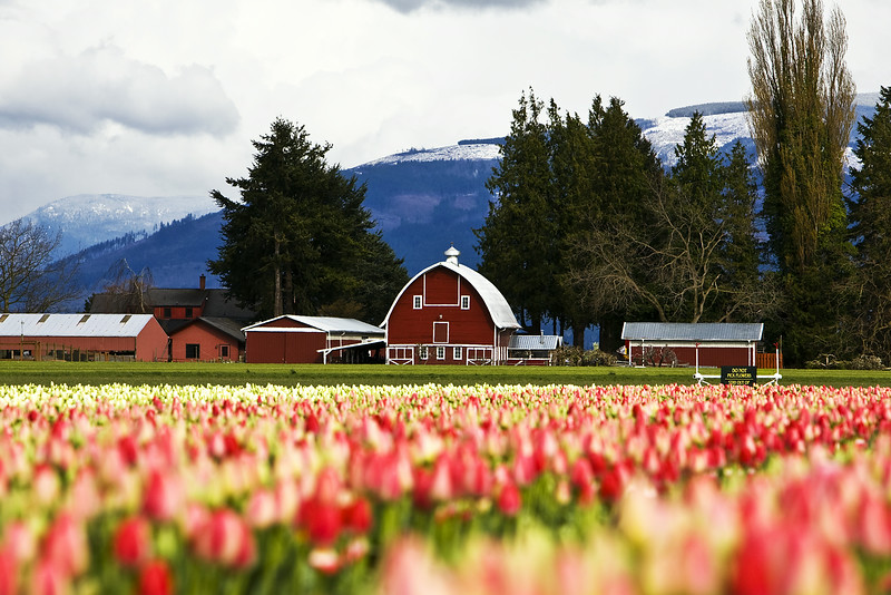 Tulips, WA