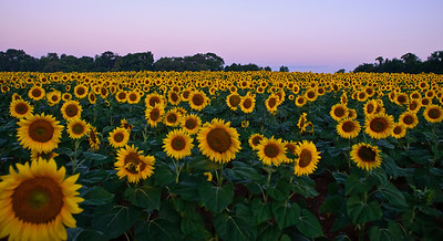 Sunflowers at McKee-Beshers WMA Maryland -7
