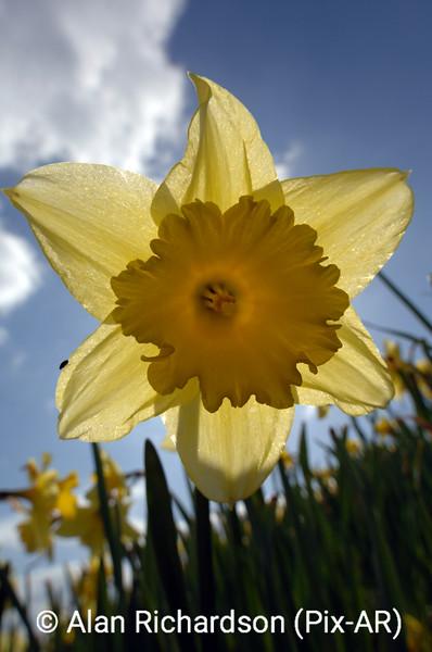 2_Daffodils_AR