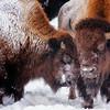 Bison Buddies