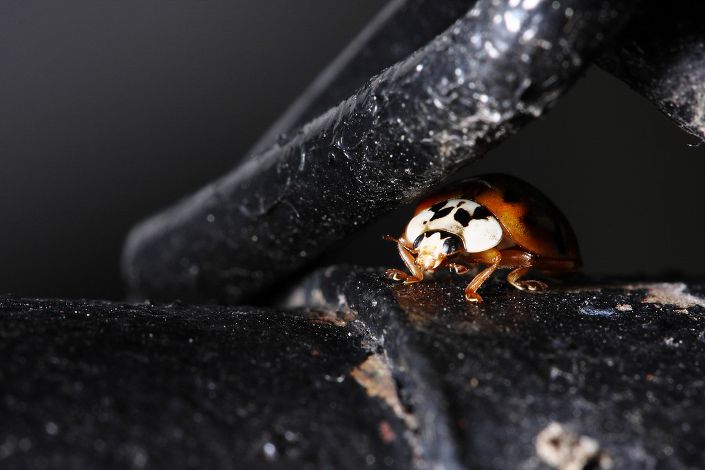 An Asian ladybug hiding under the links in a chain fence.<br /> Metallic paper prints of this photo are amazing.
