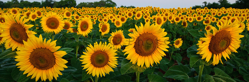 Sunflowers at McKee-Beshers WMA Maryland -4