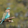 An Indian Roller rests in the hot mid-day sun in India