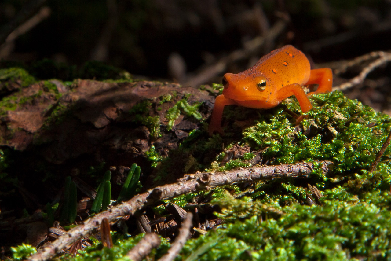 Red-spotted Newt in the Poconos, Summer 2011