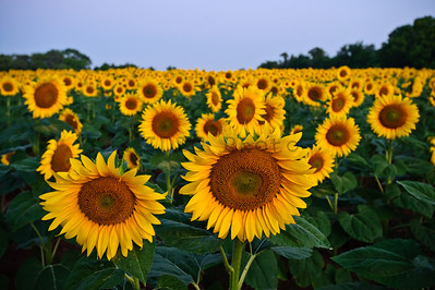 Sunflowers at McKee-Beshers WMA Maryland -2