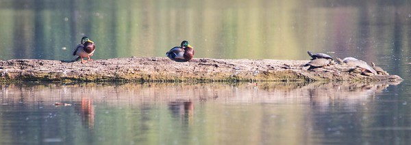 Mallard Ducks (Anas platyrhynchos) & Map Turtles (Graptemys geographica)