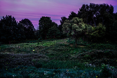 Fireflies 16
