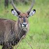 A Defassa Water-buck eats grass on the plains of East Africa in Uganda