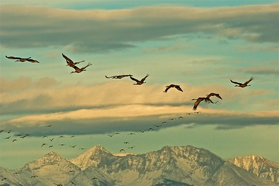 A Flight of Cranes near the Sangre de Cristo Mountains