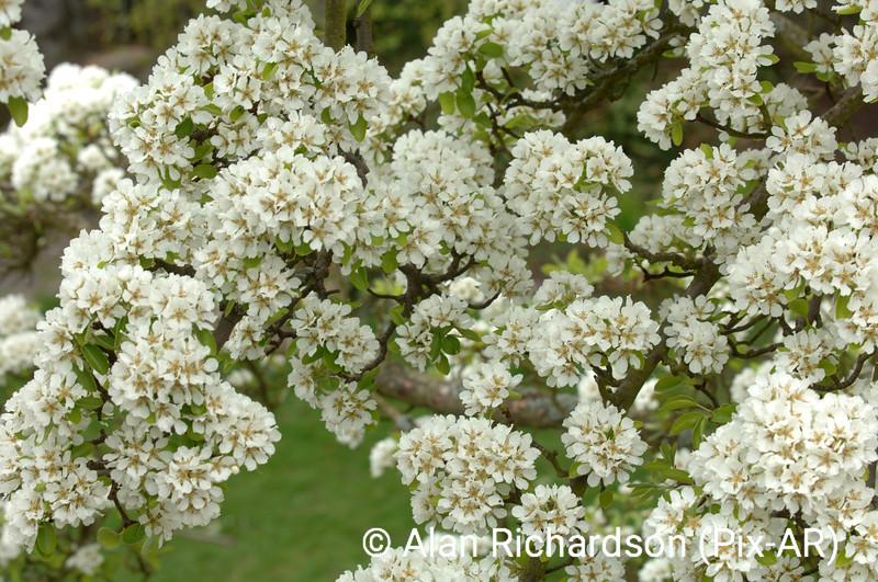2_Pear_Blossom_AR